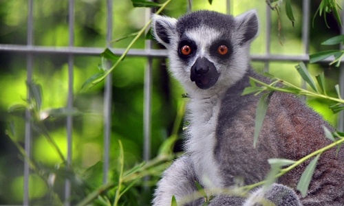 King of lemur
